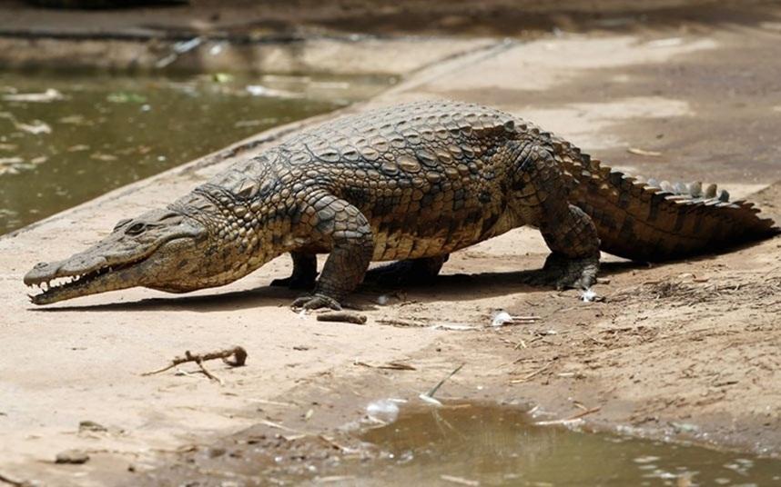 Mơ-thấy-cá-sấu